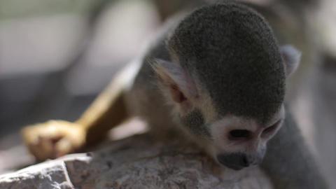 A Squirrel Monkey Lying on a Tree Brunch Footage