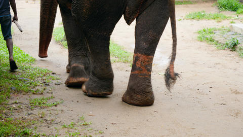 4k video of elephant with hurt and damaged legs after wearing metal chains Live Action