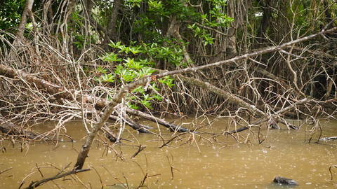 4k video of seasonal tropical rain at mangrove jungle forest in river Live Action