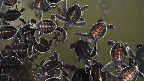 4k video of 1-day newly born turtles swimming in wildlife rescue center on Sri Live Action