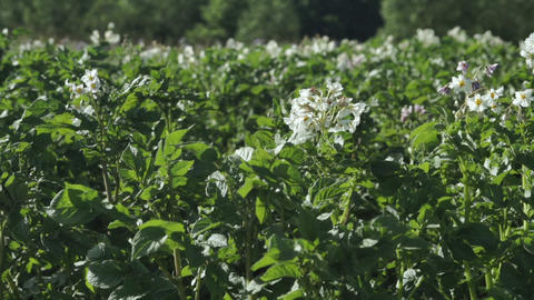 Potatoes agricultural field white and violet flowers blooming Live Action