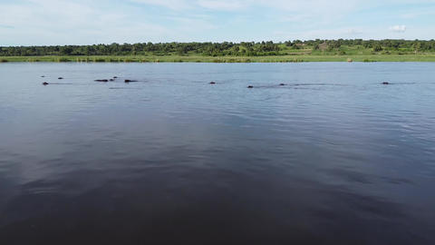 Group of wild hippos is swimming in the river, beautiful wildlife of Namibia Live Action