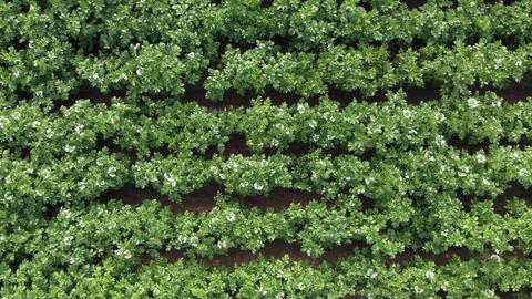 Potatoes agricultural field white flowers blooming aerial Live Action