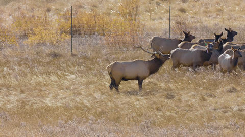 A herd of wild elks in the Rocky Mountain National Park Live Action