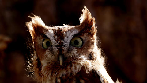 Close up of a cute and fuzzy Eastern Screech Owl Live Action