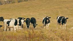 1080p Cows in Field / Cows Farm / Grazing Cows Footage