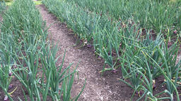 Red onions growing in field Footage