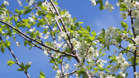 Cherry And Pear Tree Flowers 1