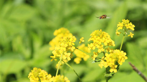 A bee on winter cress flowers Footage