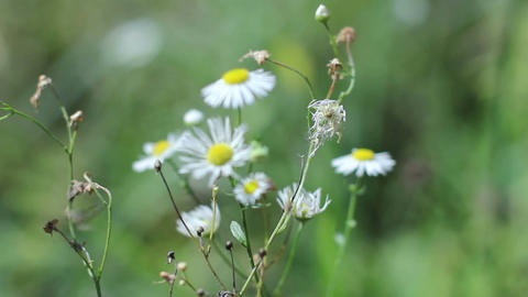 White chamomile on green grass, summer nature background Footage