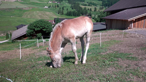 Brown grazing foal on horse farm at summer day day near fence, Dolomites, Italy Live Action