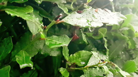 detail of green leaf and wet when raining drops falling Live Action