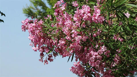 A tree with pink flowers Footage