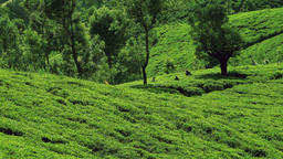 Zooming video of people picking tea harvest at highland plantation in Sri Lanka Footage