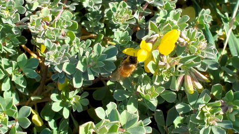 Honey bee collect pollen flying on marine blooming flower vegetation,pollination Live Action