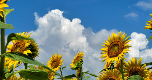 Sunflower field Live Action