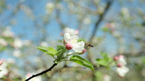 Beautiful blooming apple tree branch in the spring garden on a sunny sunny day Live Action