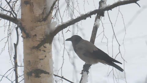 Gray Crow on a birch branch pecks at its food Live Action