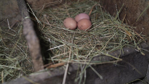 Three eggs in a straw nest. Chicken eggs in the nest Live Action
