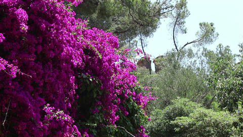 A wall of magenta flowers Live Action