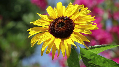 A bee on a sunflower Footage