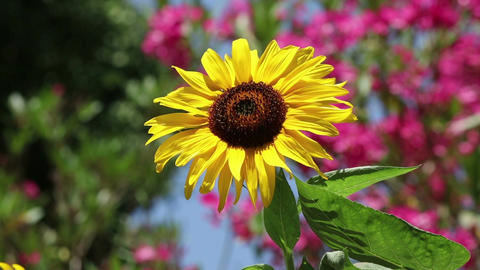 A sunflower in a garden Live Action