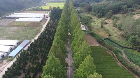 JINAN Metasequoia Footage