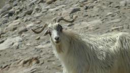 Bleating Pashmina goat,Pangong,Ladakh,India Footage