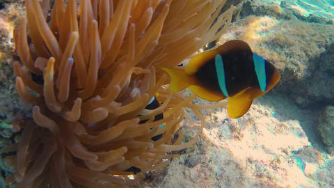 Clownfishes in anemones2 GIF