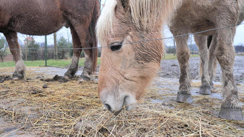 Red golden Isabella hucul horse is feeding dry hay in muddy paddock. Nice healthly and fat horse Live Action