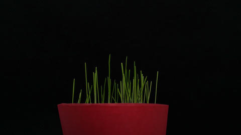 small plant pot, green grass, growing plants, germination, spring time lapse Live Action