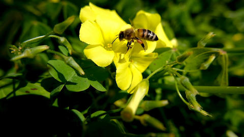 Honey bee collect pollen flying on spring blooming flower vegetation,pollination Live Action