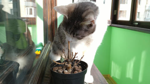 Gray striped cat eating small plant at sunny balcony Live Action