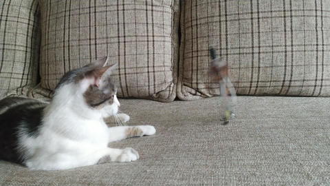 Gray striped tabby cat playing on a couch Live Action