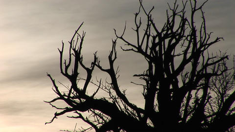 Bare branches are silhouetted against a gray sky Stock Video Footage