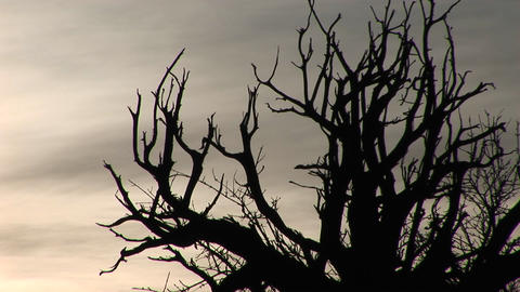 Bare branches are silhouetted against a gray sky Footage