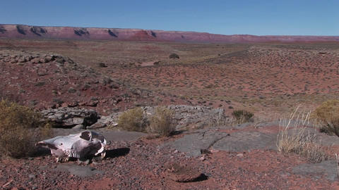 Pan-left to a cow skull laying in a barren desert Stock Video Footage