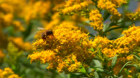 A bee harvests pollen from a plant near a rural lake in Central Vermont Footage