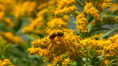 A bee harvests pollen from a plant near a rural lake in... Stock Video Footage