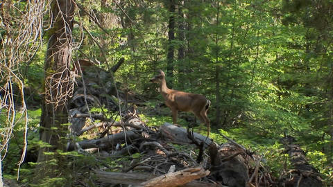 An alert deer stands in a Lake Tahoe forest located in... Stock Video Footage