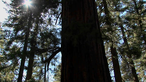 A tall pacific oak tree grows in a Lake Tahoe forest... Stock Video Footage