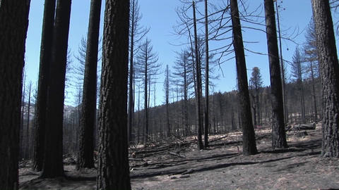 A forest-fire with felled trees Footage