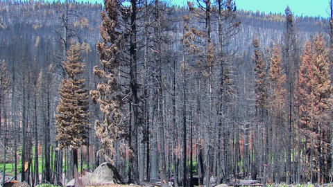 A fire burned forest with trees cut down Footage