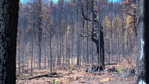 A fire burned forest with trees cut down Stock Video Footage