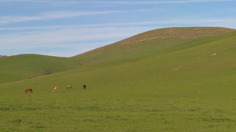 Green fields roll to the horizon against a deep blue sky with horses grazing in the distance Footage
