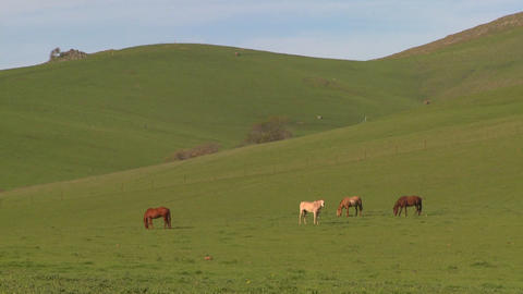 Horses graze in green fields Footage