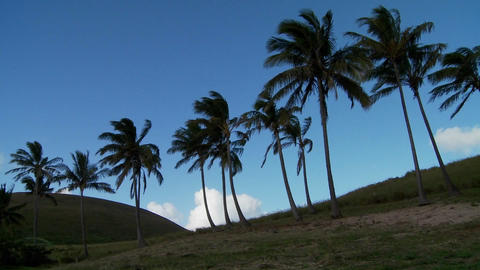 Pan across rows of palms blowing in the wind on a South Sea island Footage