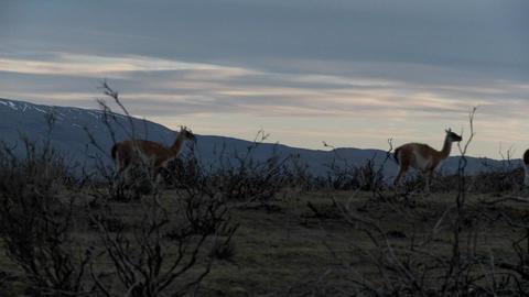 Gorgeous guanaco llamas walk across an open plain in... Stock Video Footage