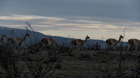 Gorgeous guanaco llamas walk across an open plain in Argentina with the Andes in the background, Pat Footage