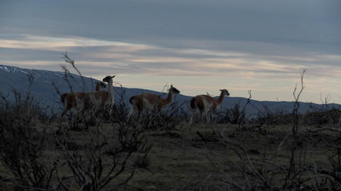 Gorgeous guanaco llamas walk across an open plain in... Stock Video Footage